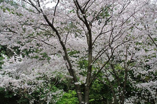 投稿者: ルルン (徳島県) 撮影日: 2013年3月31日