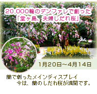 20,000輪のデンファレで創った「堂ヶ島、夫婦しだれ桜」 蘭で創ったメインディスプレイ 蘭のしだれ桜が満開です。