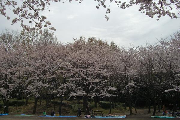 桜の広場のソメイヨシノ