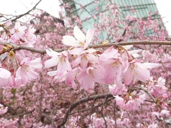 Sakura101 1